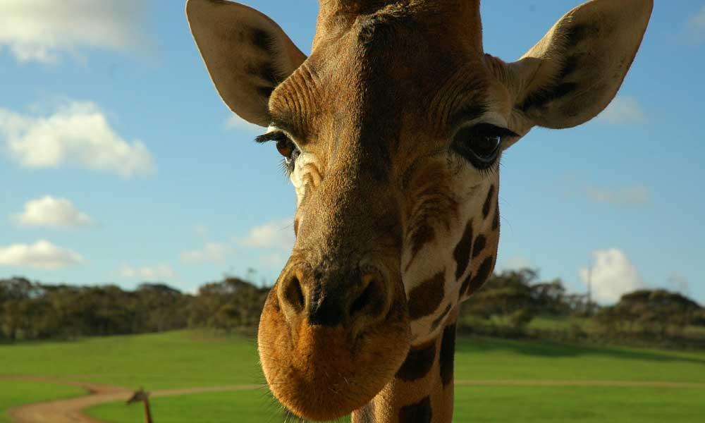 giraffe-image